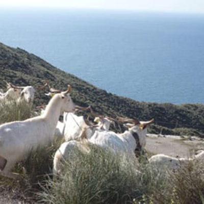 Rebaño de cabra Serrana - Cabo de Gata